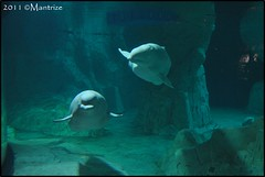 Belugas (Mantrize) Tags: city las de y arts ciudad science artes belugas ciencias oceanográfico cetacean kairo yulka cetáceos loceanográfic oceanográfic
