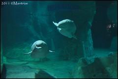 Belugas (Mantrize) Tags: city las de y arts ciudad science artes belugas ciencias oceanogrfico cetacean kairo yulka cetceos loceanogrfic oceanogrfic