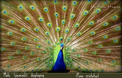 Peacock (Pavo cristatus), male, displaying (silwittmann) Tags: brazil male bird sc nature colors animal brasil ngc feathers peacock npc ave birdwatcher outpost damncool pavão autofocus pavocristatus pomerode gamewinner fantasticnature indianbluepeafowl bestofanimals naturemasterclass thechallengefactory 100commentgroup colorsinourworld thewonderfulworldofbirds mothernaturesgreenearth flickraward5 pregamesweepwinner cedruseternum allnaturesparadise ruby10 ruby5 ruby15