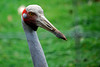 Brolga (nakedcameraguy) Tags: newzealand bird nature animals zoo nikon hamilton nz d60 brolga
