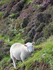 roadside hill sheep