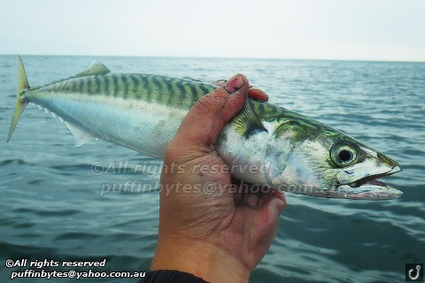 Atlantic Mackerel - Scomber scombrus