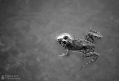 D Swimmer . (Rhivu_Ray) Tags: world travel bw copyright india art nature canon photography pond asia tour earth frog getty bestofnature bestofindia canoneos7d paschimbanga indianskipperfrog skitteringfrog euphlyctiscyanophlyctis rhivu rhivuray rhitamvarray rhivuphotography