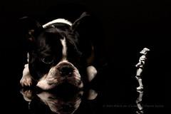 238/365 Alternative   National Dog Day (egerbver) Tags: dog black reflection animal toy bostonterrier toys actionfigure starwars days clones stormtrooper 365 clonetrooper nationaldogday davideger 365daysofclones