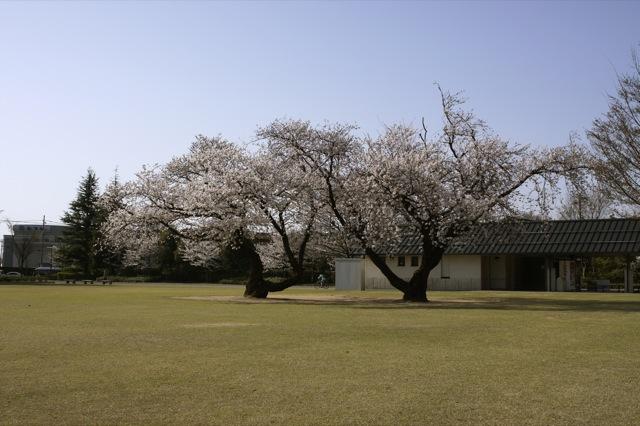 春はひと足ずつ 桜と白木蓮