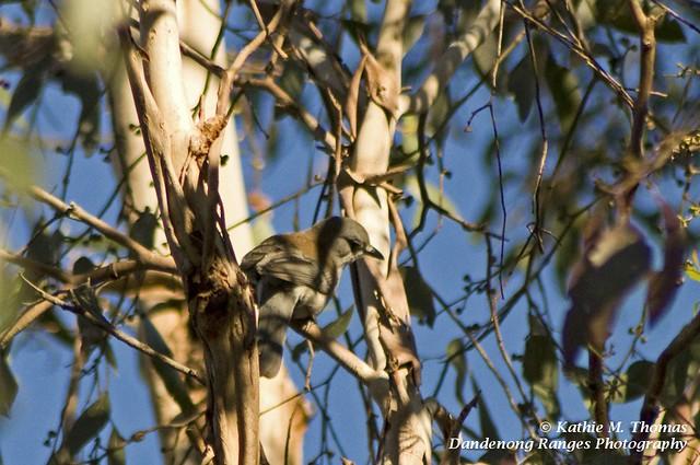 235-365 Grey Shrike-Thrush
