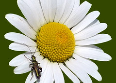 Daisy?....... with Insect (Cathpetsch) Tags: flower macro closeup insect whiteflower daisy soe bouquets bloem autofocus margriet wow1 greatphotographers flowerwithinsect panasonicdmctz6 doublyniceshot doubleniceshot mygearandme thegalaxyaward allnaturesparadise flickrstruereflection1