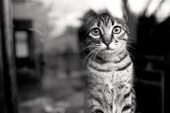 (Nilton Ramos Quoirin) Tags: brazil window paran brasil cat kitten penny gata janela fozdoiguau