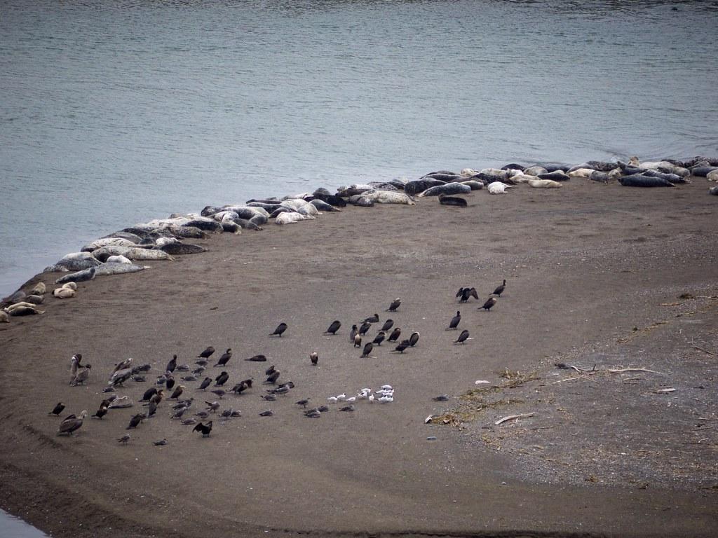 Seals and birds near Goat Rock Beach