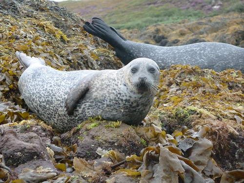 Common Seal at Dunvegan