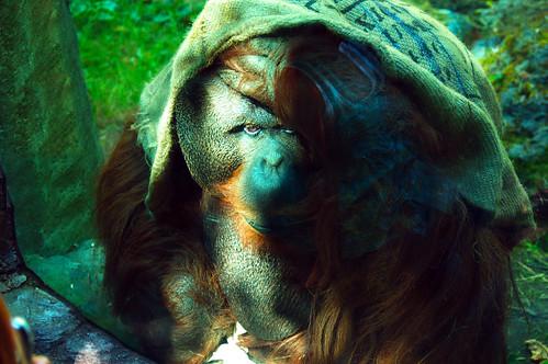 2011_0830_Orangutan