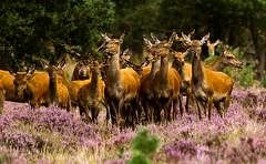 The clan... (Marcel Tuit) Tags: park wild holland me nature animal canon eos wildlife nederland thenetherlands natuur national 7d hoge dier reddeer veluwe hert rotsen nationaal cervuselaphus edelhert rothirsch roodwild sigma150500 wildbaan marceltuit wildpixels2011meeting inheemswild
