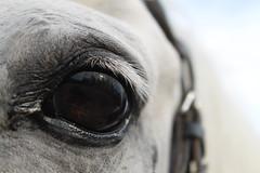 (Isabelle Kaltner) Tags: horse white eye true pferd