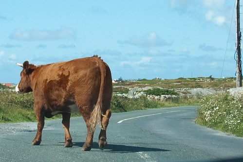 crossing cow