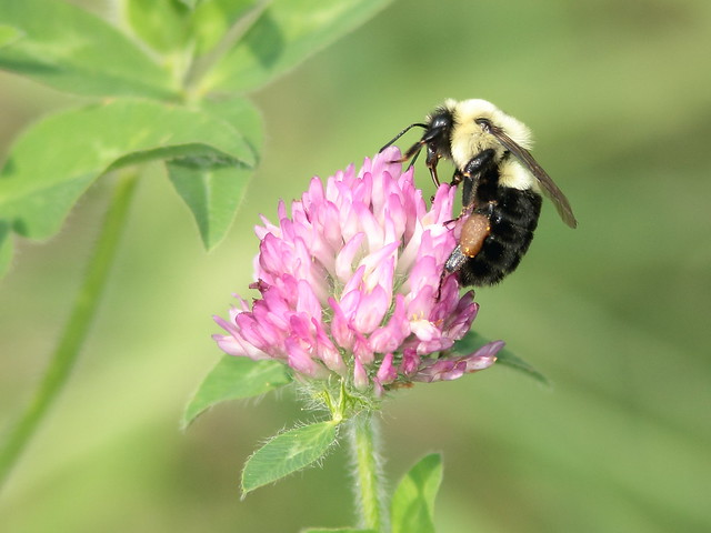 Carpenter Bee on clover 20110903