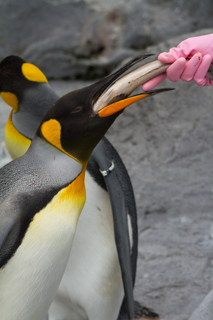 King Penguin at Asahiyama Zoo (2)