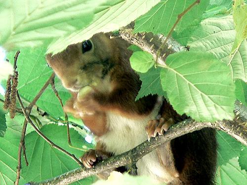 écureuil et noisette.jpg