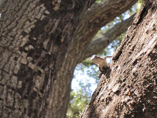 oaks and lizard 005