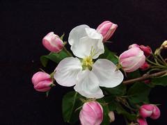 V.3 Blossom