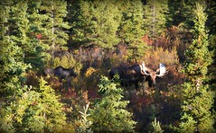 Animal - Wildlife - Moose - Alaska (blmiers2) Tags: travel autumn brown green fall nature beautiful animal animals alaska nikon wildlife moose antlers d3100 denaliinnationalpark blm18 blmiers2