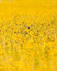 Mule Deer Doe...She's in there Somewhere. (m_Summers) Tags: summer nature animal mammal utah northernutah wildlife doe deer sunflowers wildflowers muledeer canon400mmf56 canon60d antalopeisland photocontesttnc11