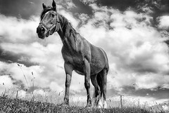 Beautiful horse in a pasture Ireland's Dingle Peninsula, black and white (jackie weisberg) Tags: ireland horses blackandwhite bw horse animal animals horizontal clouds europe bluesky pasture equine domesticated foal whiteclouds largeanimal hoovedanimal nikonflickraward jackieweisberg bestcapturesaoi doublyniceshot doubleniceshot tripleniceshot galleryoffantasticshots 4timesasnice 5timesasnice