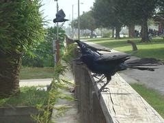 Grackle (pichardo2227) Tags: park lens lluvia florida group aves grackle mount kissimmee topic toho carlzeiss sonyw80 pichardo2227