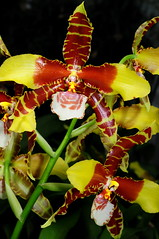 Rossioglossum Bob Hamilton (Nurelias) Tags: white orchid flower color macro fleur beautiful yellow america photography flora rainforest pattern orchids tiger large exhibition orchidaceae latin tropical chestnut orquidea lip hybrid orchidee makro magnificent barred orchidales