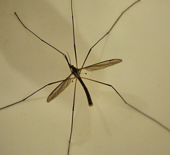 A Daddy Long-Legs (Smabs Sputzer (1956-2017)) Tags: insect daddy fly long legs crane creepy crawly tipulidae