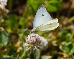Cabbage White Photo