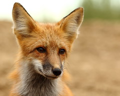 Miles (Dustin Ginetz) Tags: red wild portrait cute face fur little canine fox curious pup canonef70200mmf4lusm favescontestwinner favescontestfavored