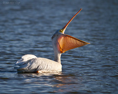 Open Wide! (Eric.Vogt) Tags: summer white birds mouth bigmouth pelican avian fernhill americanwhitepelican fernhillwetlands
