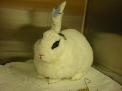 ella at the vet (tammybeck) Tags: rabbit bunny konijn conejo ella coelho lapin kaninchen coniglio kani hasse 兔 cwningen ウサギ kanin кролик królik zec hotot κουνέλι thỏ iepure kuneho králík กระต่าย sungura coinín קיניגל