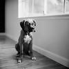 ..... (DowntownRickyBrown) Tags: dog 120 mediumformat puppy windowlight selfdeveloped hassy fujineopanacros rolleiflex28d ilfosol3 thevampirelair