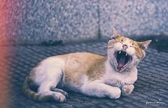 Ultra yawn. (Yavanna Warman {off}) Tags: sleeping wild pets animals tongue cat kitten funny chat sleep yawn bigotes whiskers sleepy gato lengua stray animales paws mascotas snout muzzle sueño yawning straycat gatito dormido yawns streetcat bostezo hocico gatocallejero fauces animalesdomésticos