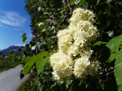 Blomster (Sogn og Fjordane fylkeskommune) Tags: flower green nature flora sommer natur tre blomst blomster busk sommar illustrasjon grnt blome