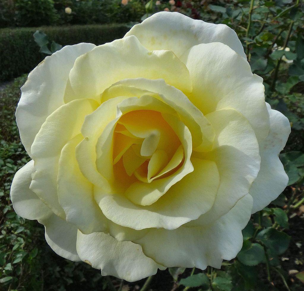 Hybrid in Groningen. 'Peaudouce' Tea Rose, Prinsentuin, Groningen, The Netherlands