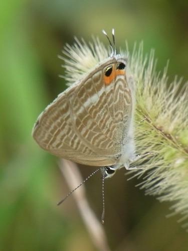 Lampides boeticus/ウラナミシジミ