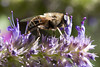 Under The Influence (Djenzen) Tags: plant nature animal garden insect bee pollen snort