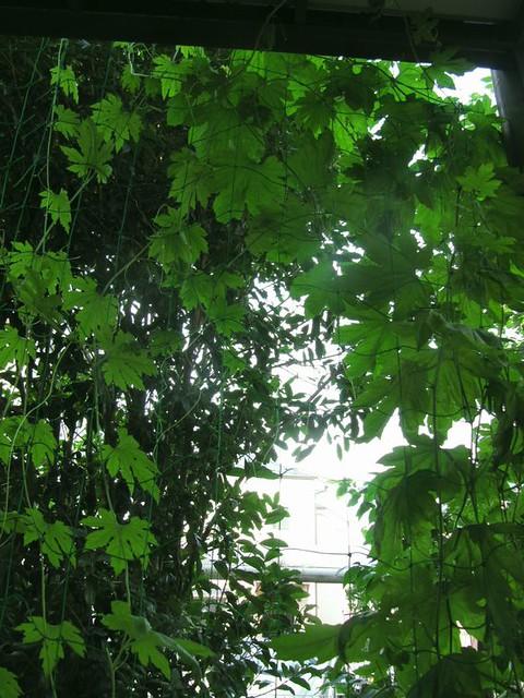ゴーヤのグリーンカーテンというよりもトンネル?