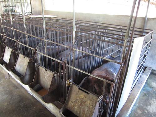 神豬飼養也有企業化經營。圖片來源:台灣動物社會研究會