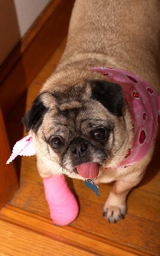 Pink Peg Leg Pug
