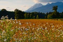 With flowers (Karmen Smolnikar) Tags: flowers trees mountains wheat slovenia slovenija