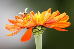 (Wind Home) Tags: flower nature beautiful outdoors pretty organic zinnia