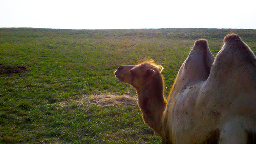 Bactrian Camel watching the sunset at The Wilds