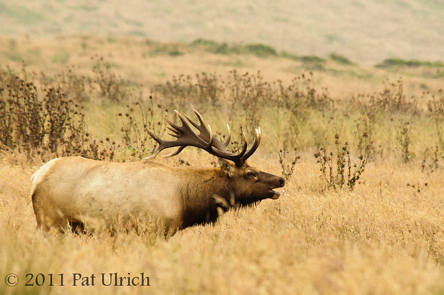 Rutting bull elk - Pat Ulrich Wildlife Photography