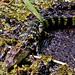 Baby Alligator-6157