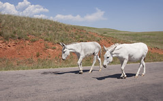 Custer State Park (Kathy Froilan) Tags: trip travel summer vacation sunshine southdakota landscape horizon scenic donkey roadtrip burro custerstatepark canonef24105mmf4lisusm canoneos50d takenfromthebackseatofaharley
