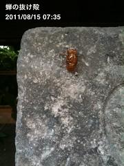 朝散歩(2011/8/15 7:30-7:40): 昨日のセミの抜け殻。本体はもう いない。