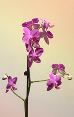 Purple Orchid HDR